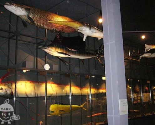 魚の剥製(本物)