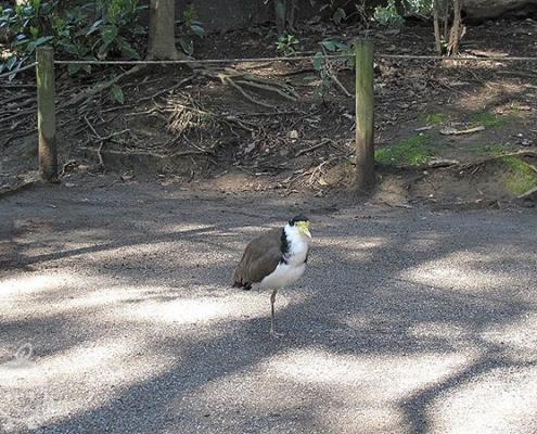 道をふさぐ鳥さん