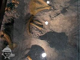トドの化石