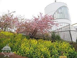 松田山ハーブガーデンと桜