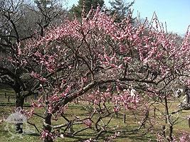 大倉山公園の梅林
