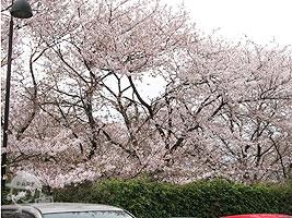 駐車場の周りの桜