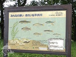 平井川に住むお魚