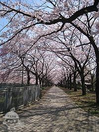 両脇の桜並木の様子