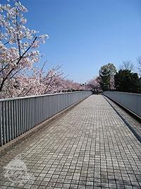 橋からは桜が間近に見える