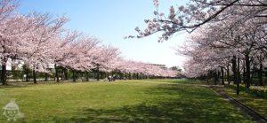 宝野公園の桜並木