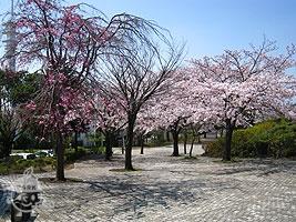 鶴牧第二公園入口の桜