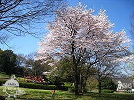 ピクニック広場内の桜