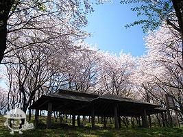 桜の中にある四阿