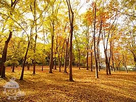トウカエデの林