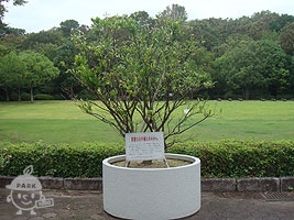 徳川家康公お手植えのみかんの木