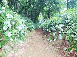 アジサイの小道