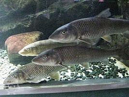 上流域の魚たち