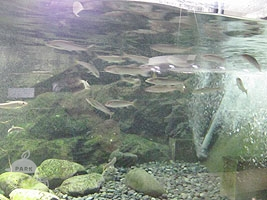 中流域の魚たち