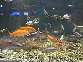 下流域の魚たち