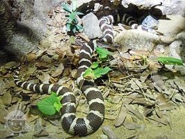 カルフォルニアキングヘビ