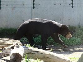マレーグマ クマ