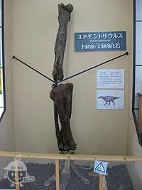 エドモントサウルスの化石