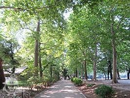 プラタナスの並木