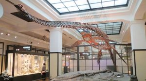 【日本館3階北翼】フタバスズキリュウの化石