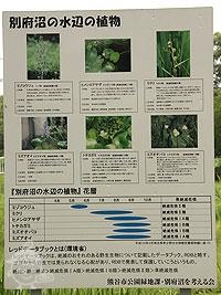 別府沼の水辺の植物
