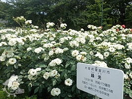 バラ園:緑光(りょっこう)