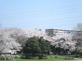 多目的広場・桜