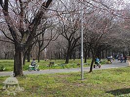 桜の並木道を走る自転車