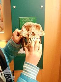 アウストラロピテクスの頭骨
