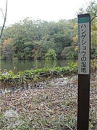 ハンゲショウの湿地