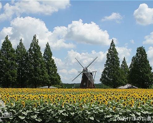 花畑(ひまわり)