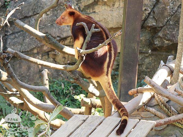 セスジキノボリカンガルー