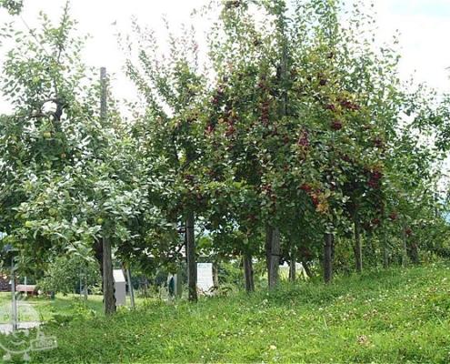 観賞用のりんごの木
