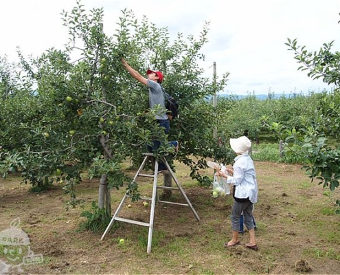 りんごもぎとり収穫体験