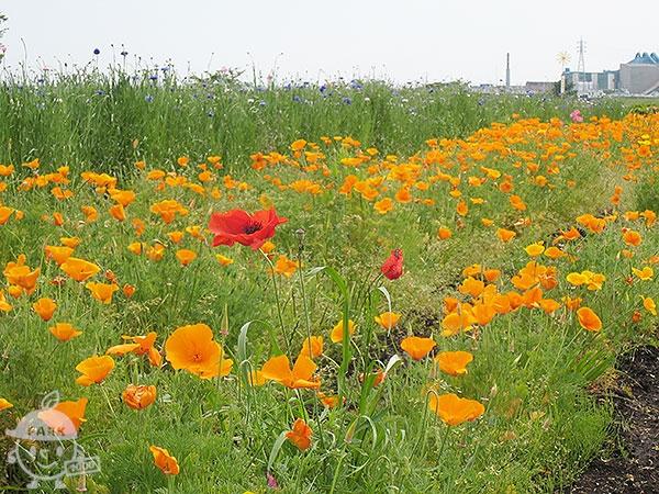 イシックス馬入のお花畑