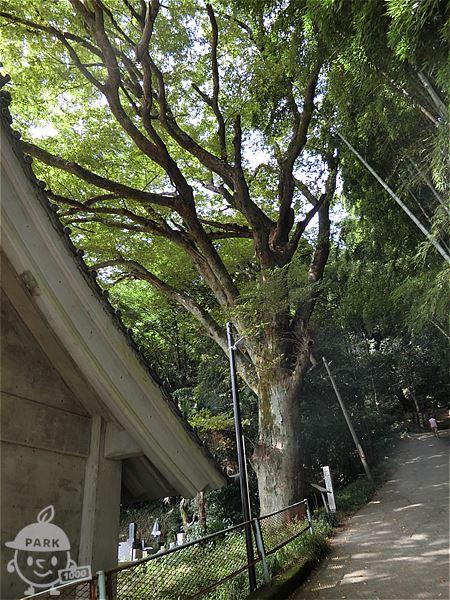 推定樹齢300年のケヤキ