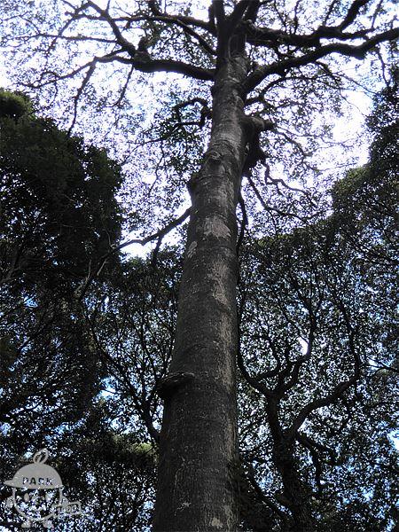 樹齢250年以上のクロガネモチ