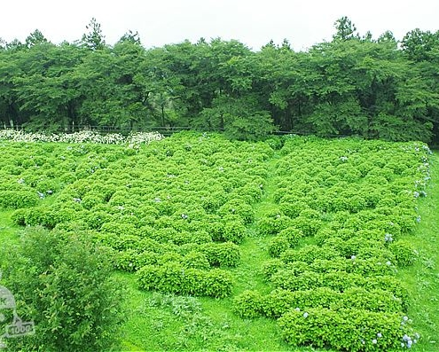アジサイ畑