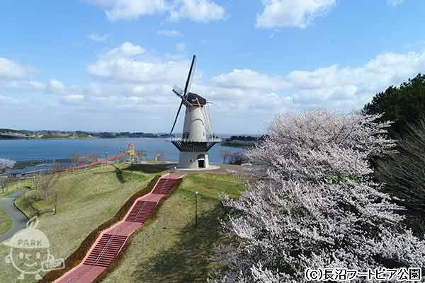 オランダ風車と桜