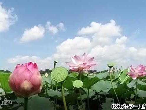 長沼のハス