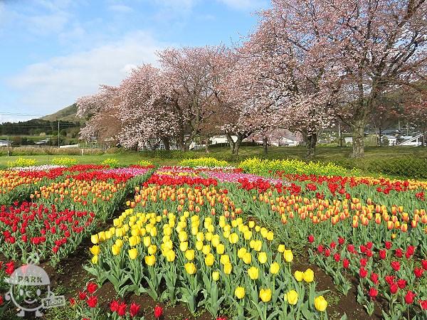 桜・菜の花・チューリップ