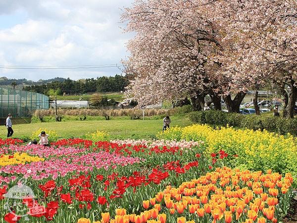 チューリップ・桜・菜の花