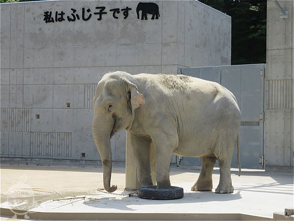 アジアゾウのふじ子ちゃん