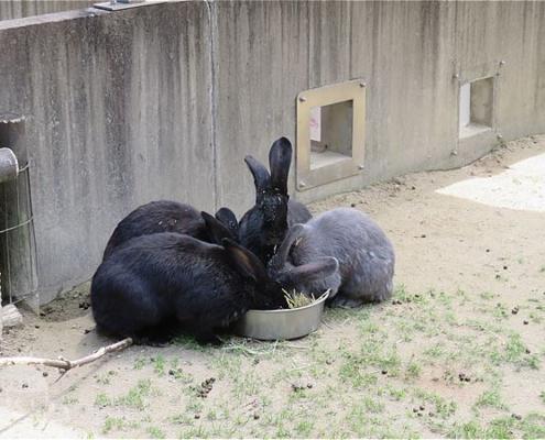 フレミッシュジャイアント(ウサギ)